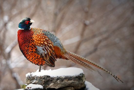 ...Male Ring-Necked Pheasant (rooster), awesome pic highlighting his colors.