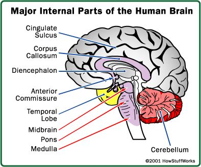 The cingulate sulcus is a brain fold. The corpus callosum plays the important role of connecting the left and right cerebral hemispheres. The anterior commissure is part of the path for pain, the midbrain is a part of the central nervous system and the medula deals with autonomic, involuntary functions such as breathing and heart rate.