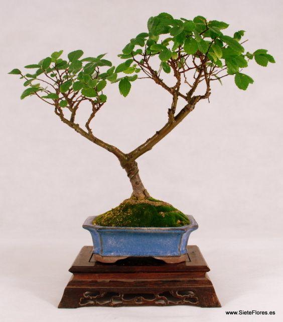 Bonsái Olmo. Bonsáis a domicilio. Compra tus bonsáis por Internet en Zaragoza - Tienda Online de Flores en Zaragoza. Siete Flores