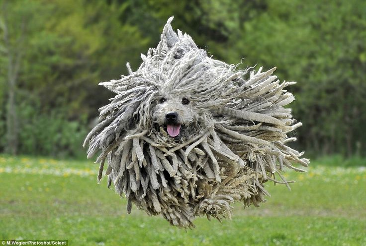Puli, Hungarian breed