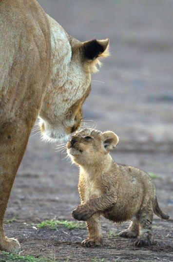 A muddy cub interacts with its mother