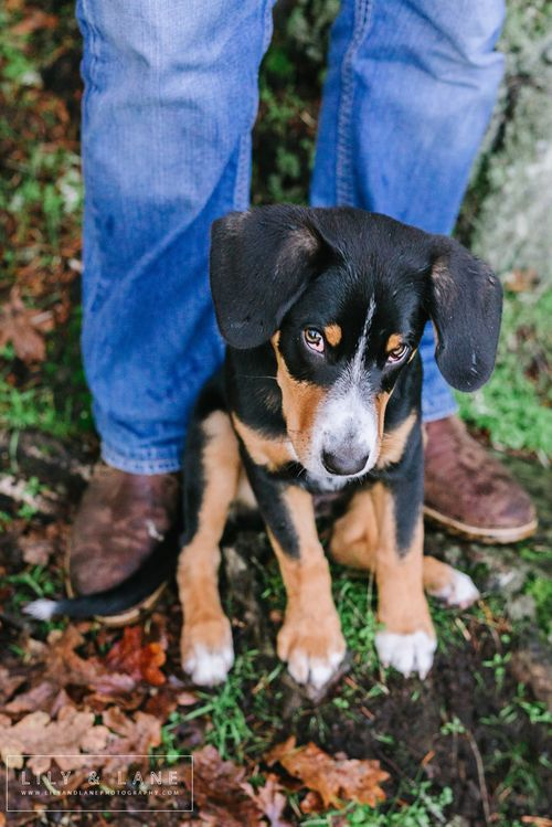 Entlebucher Mountain Dog puppy family photo session // Victoria BC - Nicola Reiersen Photography