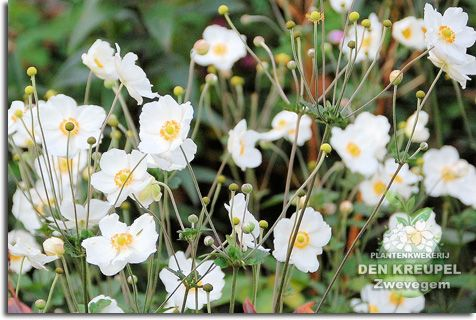 Anemone japonica (japanse anemoon) 'Alba' (herfstanemoon) bloeit tot vroeg in oktober