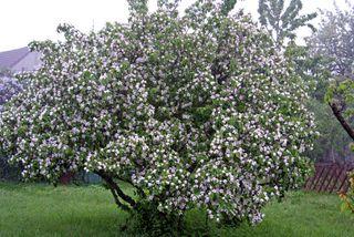 Cognassier en fleurs (Cydonia oblonga) Conseils de culture :