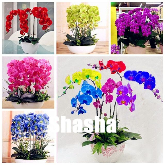 Sales 100 Pcs Bag Orchid Flower Bonsai Butterfly Phalaenopsis Orchid Potted Flower Perennial Garden Plant Fo Phalaenopsis Orchid Orchid Pot Mini Cactus Plants