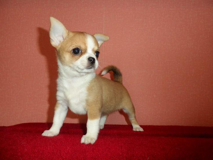 Многопородный питомник Флажалет предлагает к продаже щенков чихуахуа,тойтерьер,шелти http://flajalet.ru