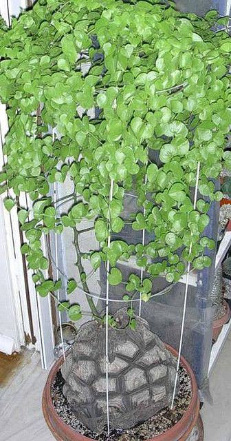 Dioscorea elephantipes by Panos & Stavros, via Flickr