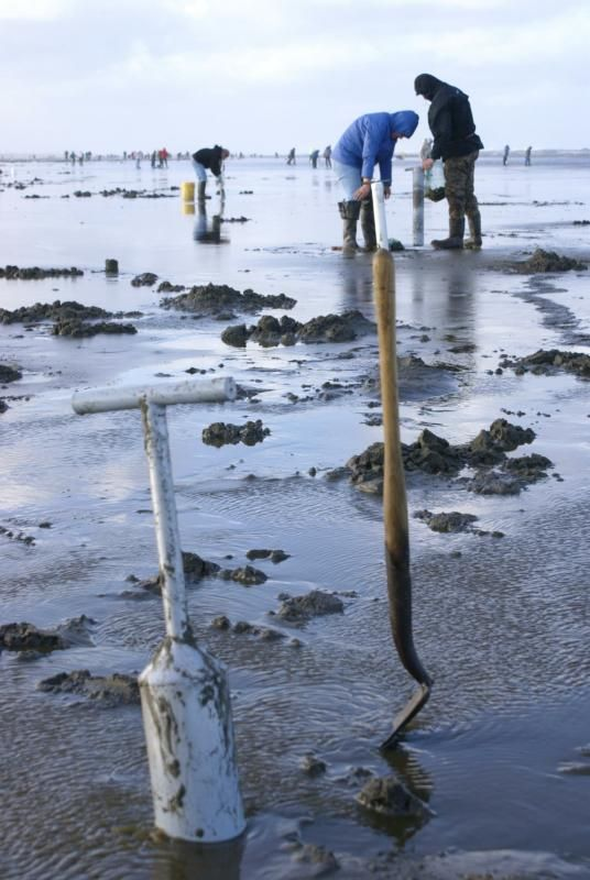 Clam digging at Ocean Shores, Washington ...