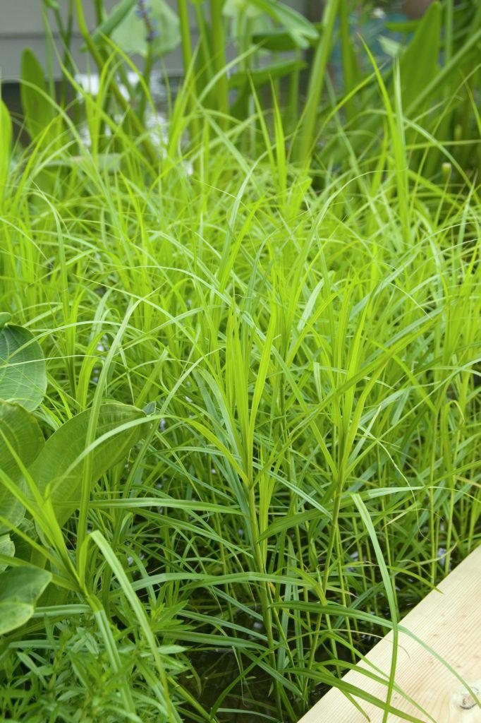 Nicht ganz Palme. Aber am Teich gepflanzt passen die Poportionen dann auch schon wieder besser