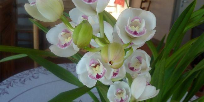 L'orchidée Cymbidium fait partie des plus faciles à cultiver et donc des plus répandues, avec les Phalaenopsis. On en compte une cinquantaine d'espèces au feuillage persistant, qui sont épiphytes, lithophytes ou terrestres.