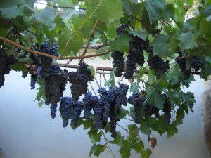 Сицилия.+Поспел+виноград.+фото+Татьяны+Махмудовой