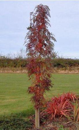 Sorbus aucuparia Autumn Spire - Sorbier des oiseleurs - Pépinière, plantes, jardinerie, vente en ligne