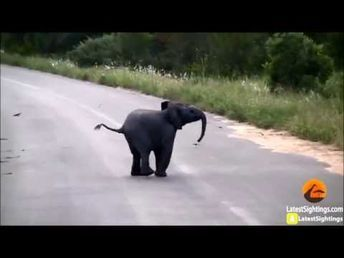 Baby Elephant Wishes It Could Fly - YouTube