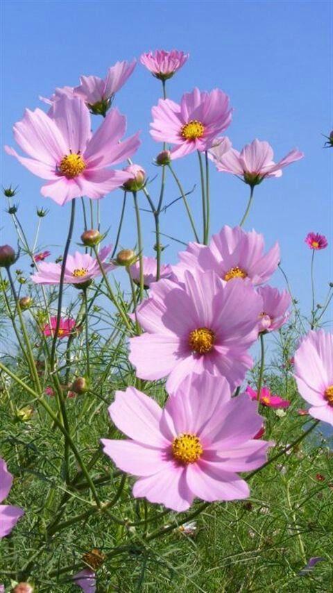 Flores rosadas | Pink flowers