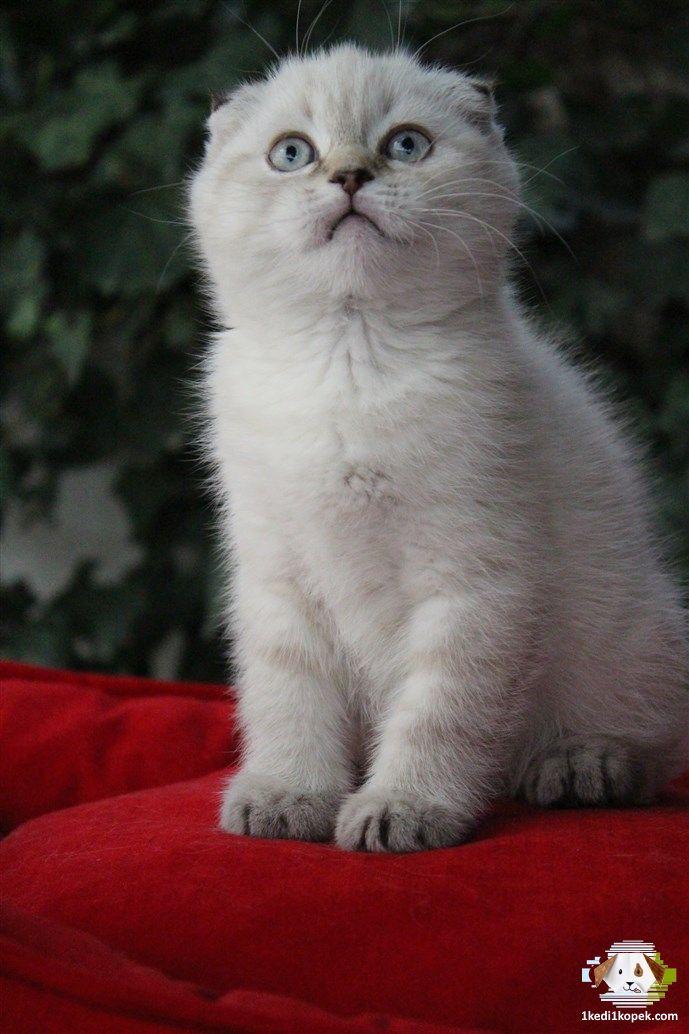 Super Kalite Blue Point Scottish Fold Yavrularimiz Petonya Petshop Farki Ile Magazamizda Super Kalite Blue Cat Scottish Fold Scottish Fold Little Kittens