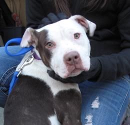 Star is an adoptable Pit Bull Terrier Dog in South Orange, NJ. Star is a beautiful female Pit Bull mix dog whose age we estimate to be under two years old.  She was brought to the shelter as a local s...