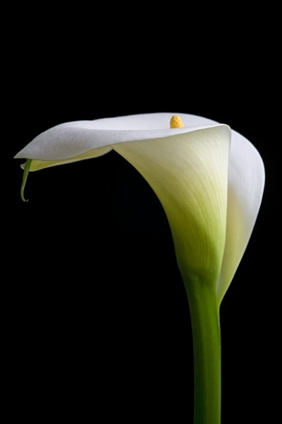 Zantedeschia aethiopica (detail)  Common names: White or Common Arum lily (Eng.) Wit varkoor (Afr.)