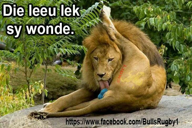 Bulle leeus
