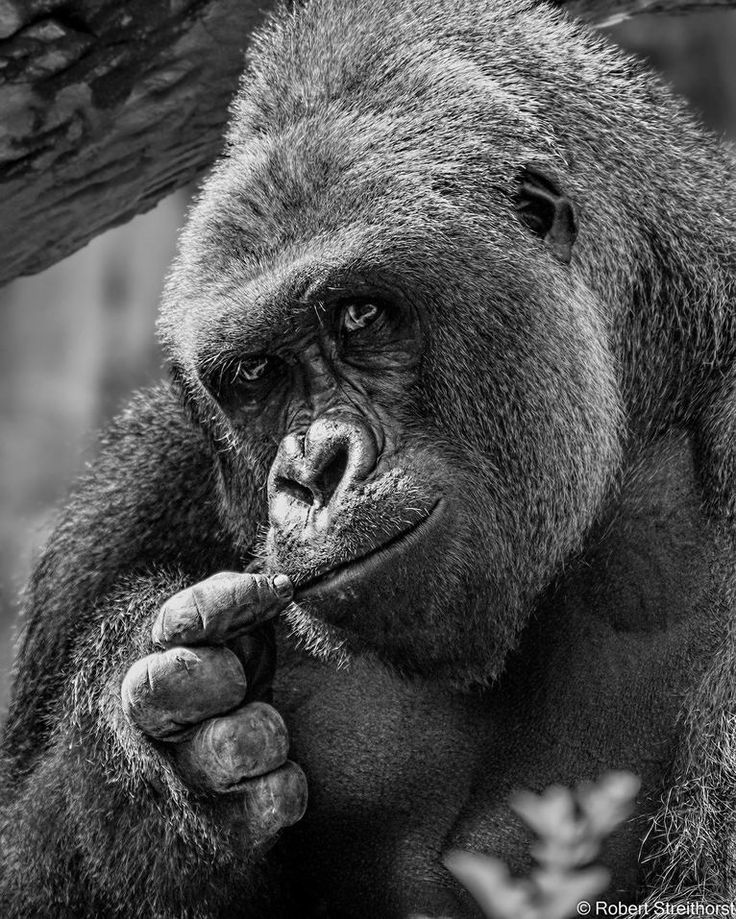 Celebrate The Life Of Harambe The Gorilla With These 12 Photos. #4 Is Just Stunning | facebook