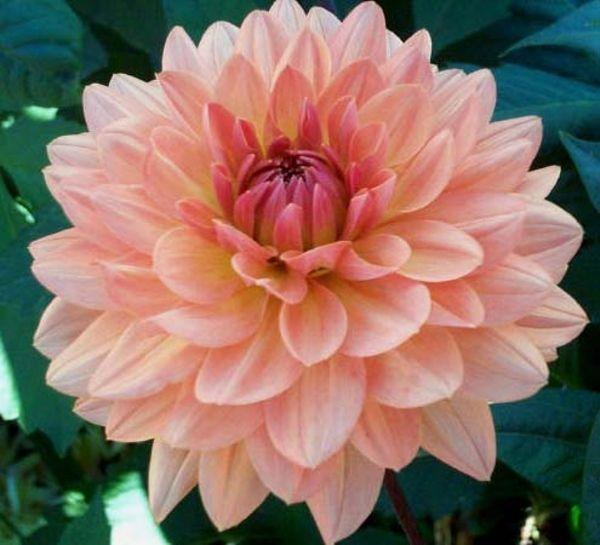 Dahlia 'Apricot Desire': waterlily.