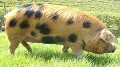 UK Breed Society - multi purpose - excellent meat - natural browser/forager - good for beginners / smallholder - heardy - docile - great mom - ideal outdoor pig