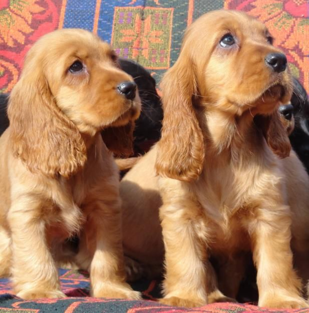 "Click visit site and Check out Best ""English Cocker Spaniel"" T-shirts. This website is superb. Tip: You can search ""your name"" or ""your favorite shirts"" at search bar on the top."