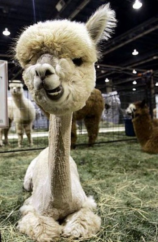 The Best Shaved Alpaca Ideas On Pinterest Bookers Jobs - 22 hilarious alpaca hairstyles