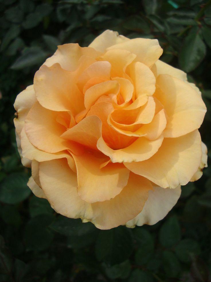 sunstruck dagmarburghardt 3 pinterest rose blumen. Black Bedroom Furniture Sets. Home Design Ideas