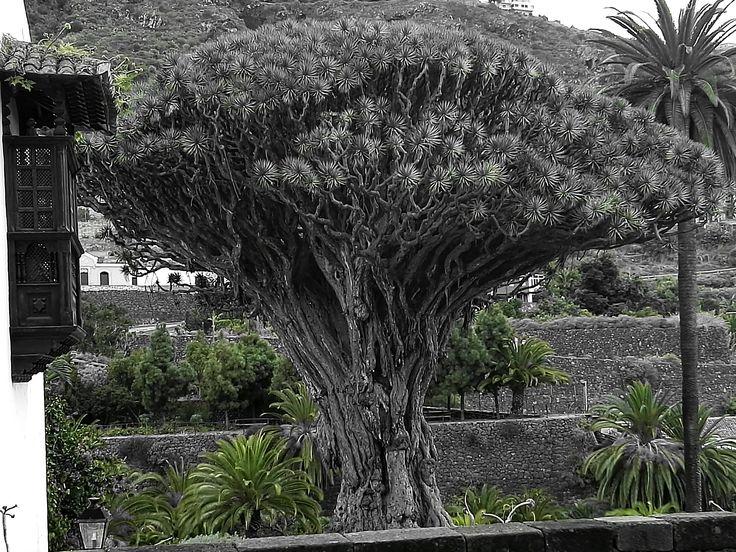 Un pequeño rincón del Planeta, donde habita el Dracaena Draco más antiguo del Mundo! El famoso Drago Milenario de Icod, Árbol Fetíche de los Guanches!desconocido por muchos pero una pieza de la Botánica  única. Para amantes de la Naturaleza Ancestral y de lugares con historia. Icod de los Vinos, Tenerife.