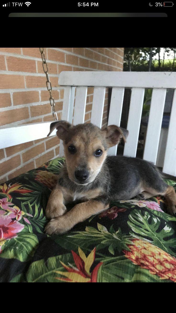corgi puppies indiana rescue