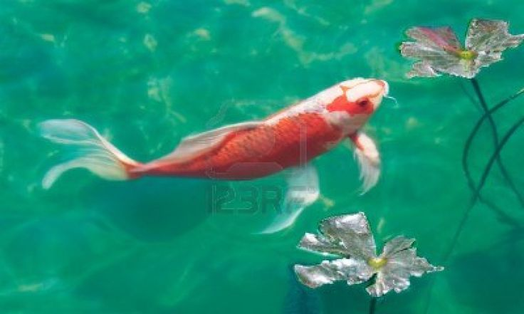 A koi carp in a fish pond stock photo koi 39 tastic for Koi ponds durban