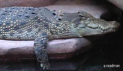 This is a salt water crocodile from Australia and it is an carnivore