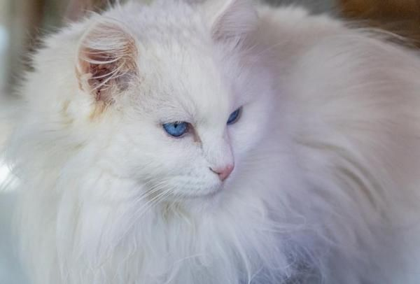 20 White Cat Breeds Blue Eyes Green Eyes A Complete List In 2020 White Cat Breeds Long Haired Cats Cat Breeds