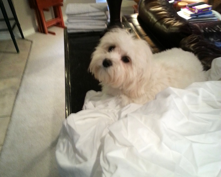 Coton helping me fold the sheets. Malteser, Lange haare