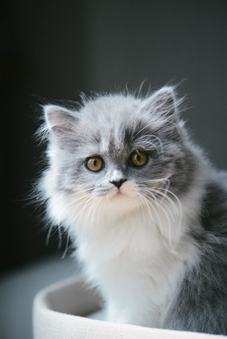 Chat gris bicolore bleu et blanc : chaton british longhair des British du clos d'Eugénie (élevage de british shorthair et longhair). Mannequin : Lynn et Photo : Vanessa Pouzet | Beautiful cat blue and white | British longhair kitten
