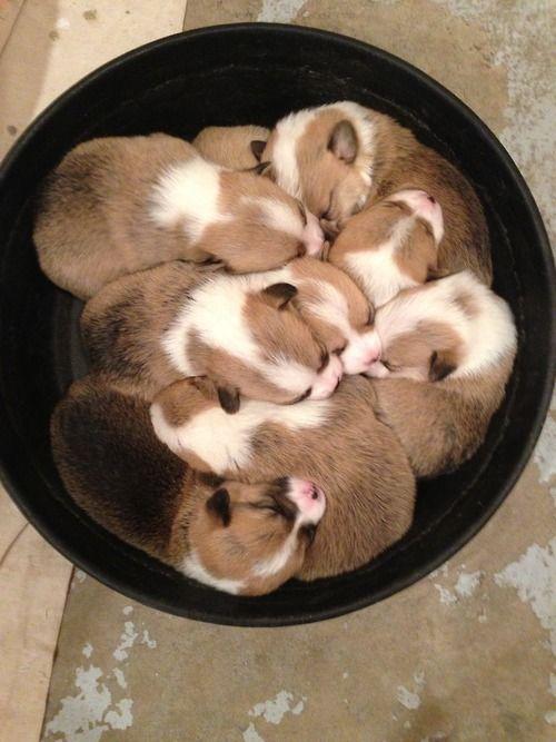 Dozing in Bozeman: Adorable Pembroke Welsh Corgi puppies! Via OCD: Obsessive Corgi Disorder, from Libby in Montana.