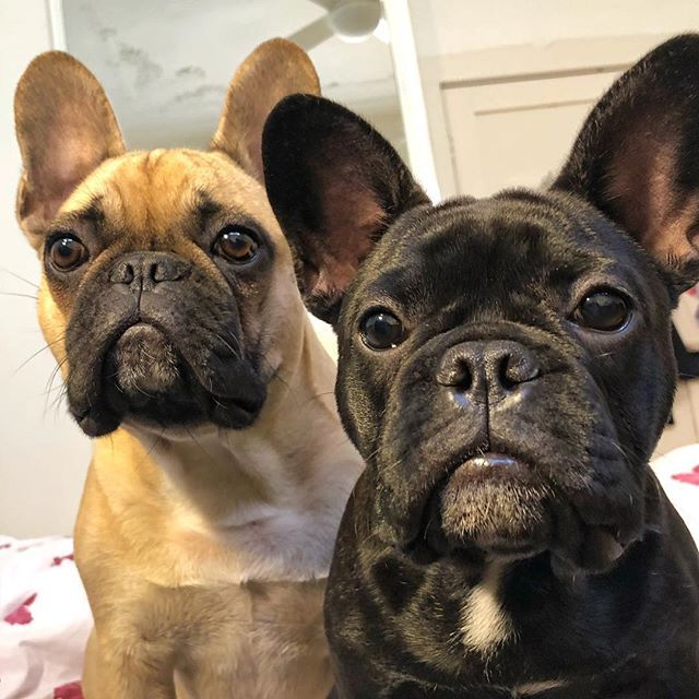 Whenever I Say The Word Treaties Frenchbulldog Frebchbulldogpuppy French Bulldog Frenchiephotos Frenchiefea French Bulldog Dog Life Pets