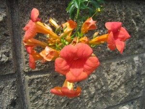 Fleurs de Campsis grandiflora par Joel Abroad