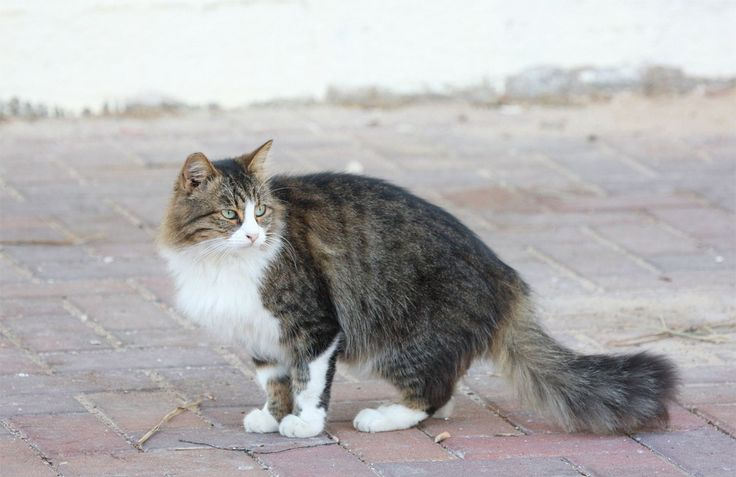 American Wirehair Cat Pictures
