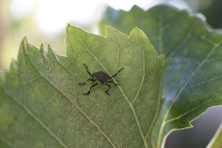 Bug on the grape leaf