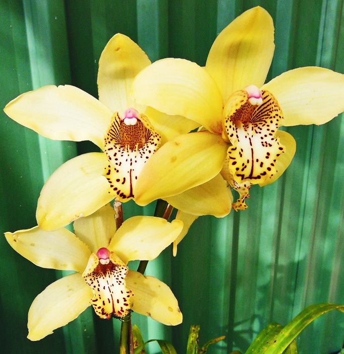 78 images about orquideas orchids on pinterest spikes vanda orchids and dendrobium orchids. Black Bedroom Furniture Sets. Home Design Ideas