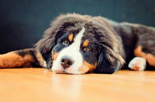 #dog #puppy #bernese