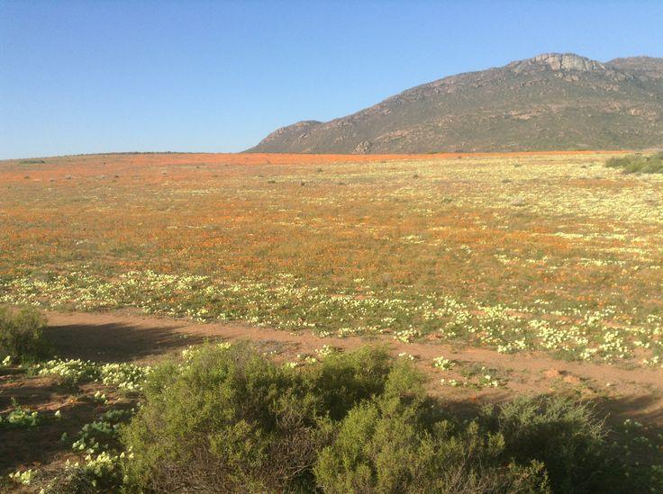 Namaqualand flowering