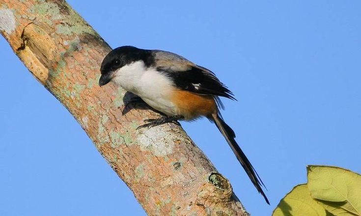 15 Ciri Ciri Cendet Madura Lengkap Dengan Kelebihannya Burung Jenis Jalak