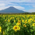 RT @yamanakako_info おはよう富士山。昨日つぶやいた山中湖花の都公園のひまわりは、人力でここまで復活しました。 #fujisan #mtfuji... on Twitpic