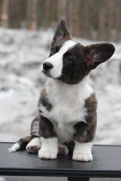 I think is what our dog Jack looked like when he was a puppy (we adopted him as a bigger dog). CUTE!
