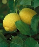 How to Feed Lemon Trees - Lemon trees always need to be fed and cared for in very specific ways to make sure that they grow up as healthily as possible. http://www.monrovia.com/gardening-videos/feed-lemon-trees-video.php