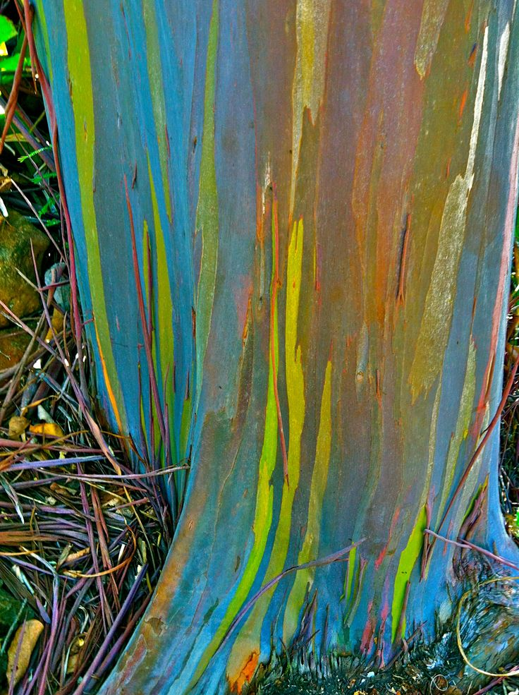 Rainbow Eucalyptus Tree, Kauai, Hawaii