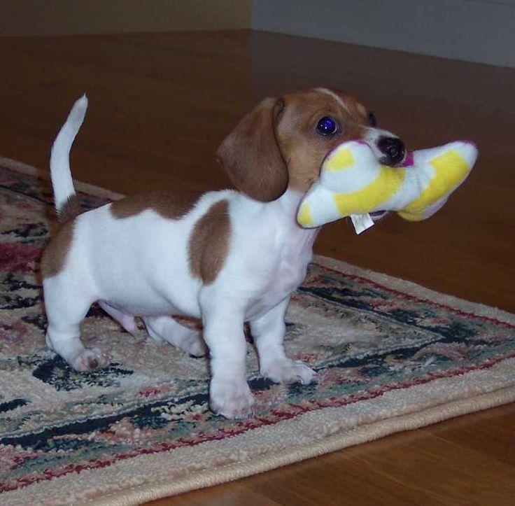 piebald dachshund - Yahoo! Search Results