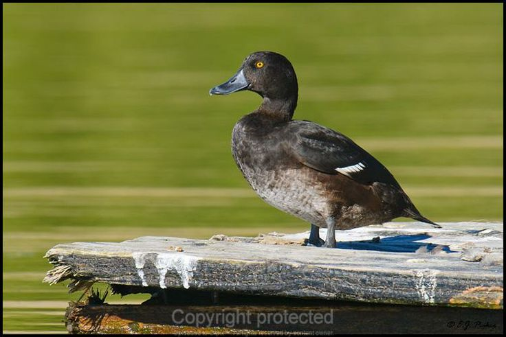 New Zealand Scaup male